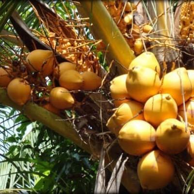 King Coconut Wholesale Profile Picture