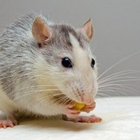 Rodent Control Sydney Profile Picture